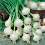 Onion - Crystal White Wax - St. Clare Heirloom Seeds