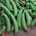 Edible Pod (Snap) Pea Seeds