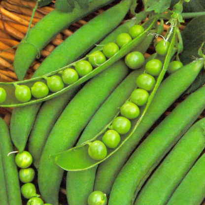 Pea, Shelling, English Pea - Lincoln - St. Clare Heirloom Seeds