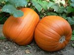 Pumpkin - Howden - St. Clare Heirloom Seeds