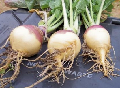 Rutabaga - American Purple Top - St. Clare Heirloom Seeds