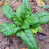 Spinach - Organic Bloomsdale Long Standing - St. Clare Heirloom Seeds