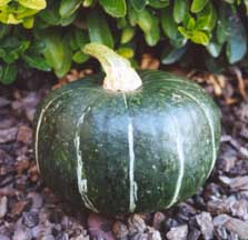 Squash, Winter - Burgess Buttercup - St. Clare Heirloom Seeds