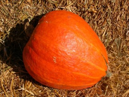 Squash, Winter - Golden Delicious - St. Clare Heirloom Seeds