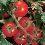 Tomato - Chadwicks Cherry - St. Clare Heirloom Seeds