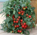 Tomato, Cherry - Tumbler Cherry - St. Clare Heirloom Seeds