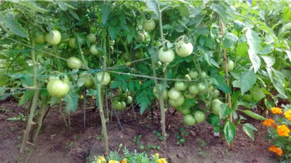 Tomato, Red - Beefsteak - St. Clare Heirloom Seeds