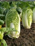 Michihili Chinese Cabbage - St. Clare Heirloom Seeds