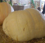 Pumpkin - Big Max - St. Clare Heirloom Seeds