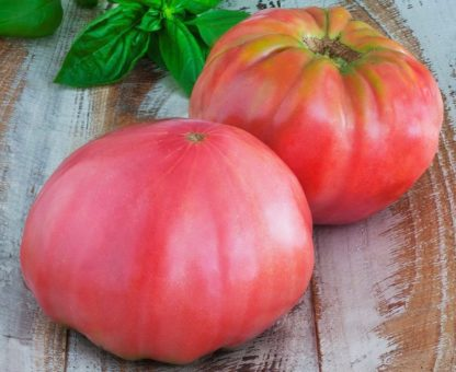 Tomato, Pink and Purple - Brandywine Pink - St. Clare Heirloom Seeds