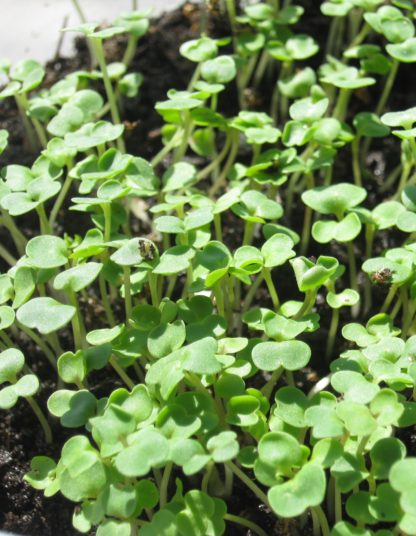 Arugula, Roquette (Rocket) Microgreen Seeds - St. Clare Heirloom Seeds