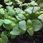 Basil, Sweet Italian Large Leaf Microgreen Seeds - St. Clare Heirloom Seeds
