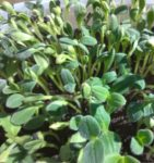 Borage Microgreen Seeds - St. Clare Heirloom Seeds