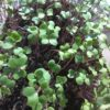 Broccoli Microgreen Seeds - St. Clare Heirloom Seeds