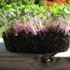 Kale, Red Russian Microgreen Seeds - St. Clare Heirloom Seeds