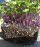 Kohlrabi, Purple Microgreen Seeds - St. Clare Heirloom Seeds