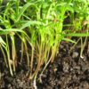 Carrot Microgreen - St. Clare Heirloom Seeds