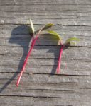 Beet, Detroit Dark Red Microgreen - St. Clare Heirloom Seeds