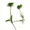 Parsley Microgreens - St. Clare Heirloom Seeds