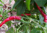 Hot Pepper - Cayenne, Long Thin - St. Clare Heirloom Seeds
