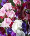 Flower - Old Spice Mix Sweet Pea - St. Clare Heirloom Seeds