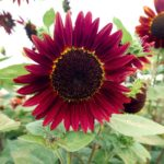 Flower, Sunflower - Chocolate Cherry - St. Clare Heirloom Seeds