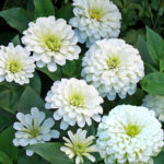 Flower - Zinnia - Polar Bear - St. Clare Heirloom Seeds