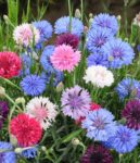 Flower - Bachelor Button - Polka Dot Mix - St. Clare Heirloom Seeds