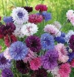 Flower - Bachelor's Button - Tall Mix - St. Clare Heirloom Seeds
