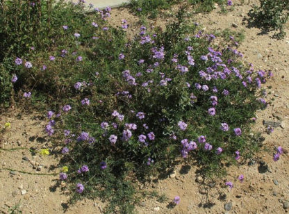 Flower - Verbena - Moss Verbena - St. Clare Heirloom Seeds