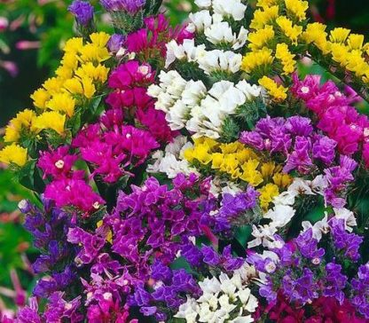 Flower - Statice Mix - St. Clare Heirloom Seeds