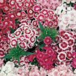 Flower - Sweet William - Double Mix - St. Clare Heirloom Seeds